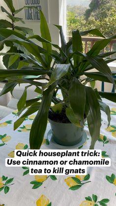 Indoor Tree Plants, Indoor Garden, Planting Succulents, Planting Flowers, Household Plants, Inside Plants, Plant Aesthetic, Plant Guide, House Plant Care