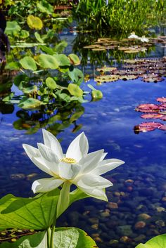 Brilliant clear #blue water is a work of art! a MOST #POPULAR RE-PIN: White Lotus - water lily in bright royal blue pond water with pebbles. RESEARCH #DdO:) - FLOWERS BEYOND EXPECTED - http://www.pinterest.com/DianaDeeOsborne/flowers-beyond-expected/ - Waterlilies with beautiful white flowers draw insects to fly above the water - then come pollinate plants. Roots dangling into lake, marsh or river water provide hiding places for little fishes. #Lotus #Waterlily #Lilies #Flowers
