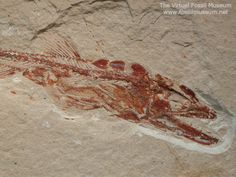 Viper Fish Fossil with two fish inside
