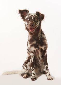 Dalmatiner Spitz Mix: Lola