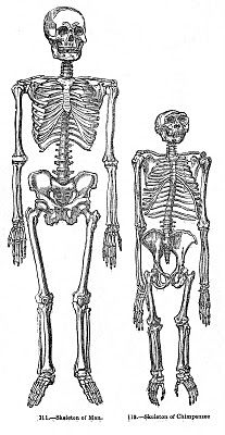 Anyway, this unusual Skeleton graphic is from an early Natural History book and compares the bones of a man to a Chimpanzee. Interesting!
