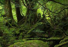 YAKUSHIMA FOREST – JAPAN