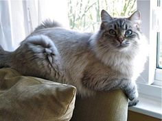 Photos of Brookhaven Siberians Hypoallergenic Siberian Cats and Siberian Kittens in Michigan