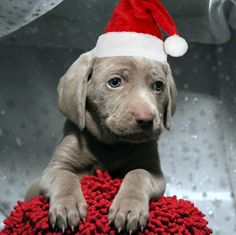 Christmas Weimaraner Puppy #Holiday #Dogs