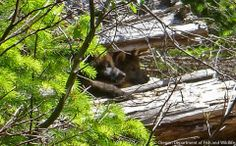 OR 7, after Several Years Roaming and 3,000 Miles, He and and His Mate Just Produced a Litter of Pups,  2 of Which are Peeking From Between the Logs--Defenders of Wildlife Photo