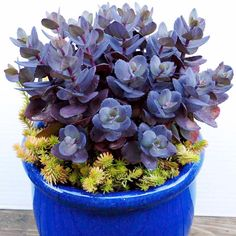 Sedum Plant - Blue Pearl - All Perennial Plants - Perennial Plants - Gardening - Suttons Seeds and Plants Growing Succulents, Succulents In Containers, Cacti And Succulents, Planting Succulents, Cactus Plants, Garden Plants, House Plants, Planting Flowers, Flowering Succulents