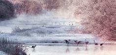Mandschurenkraniche gelten in Asien als Glücksbringer. Eine Schar watet hier durch den winterlichen Setsuri-Fluss auf der japanischen Insel Hokkaido. Ihr Bestand ist gefährdet: In freier Wildbahn leben nur noch 2.700 dieser Vögel, davon fast die Hälfte in Japan – Diese Karte hier online kaufen: http://bkurl.de/pkshop-211398 Art.-Nr.: 211398 Die Glücksbringer | Foto: © Thierry Vezon | Text: Michael Stührenberg