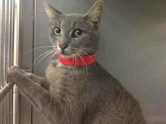 Meet Berlin a Petfinder adoptable Domestic Short Hair Cat   Los Angeles, CA   Berlin is about a year old and is very, very shy. She needs a family who will be patient with her...