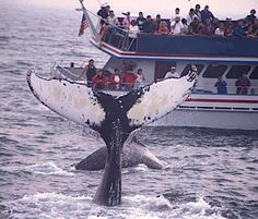 Whale watching, Boston Harbor