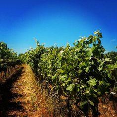 #traveltuesday brings me to vineyards at their best SNAP: livedreamwander  #travel #instatravel #travelstoke #traveller #travellife #instatravelling #instatraveller #travelblogger #wanderlust #beautifuldestinations #traveldeeper #photooftheday #passionpassport  #passportready #iamtb #travelbug  #travellove #amazing  #globetrotter  #livedreamwander #sonomapassion #napavalley #california #vineyards #wine #tour #tasting Travel Bugs, Napa Valley, Vineyard, Bring It On, Wanderlust, Country Roads, California, Tours, Wine