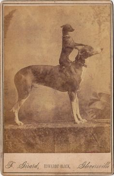 greyhound dog anatomy | Don the Greyhound and His Terrier - PROJECT B - Vintage Photographs ...