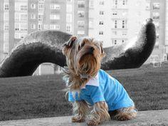 Gallaecian Yorkshire Terrier