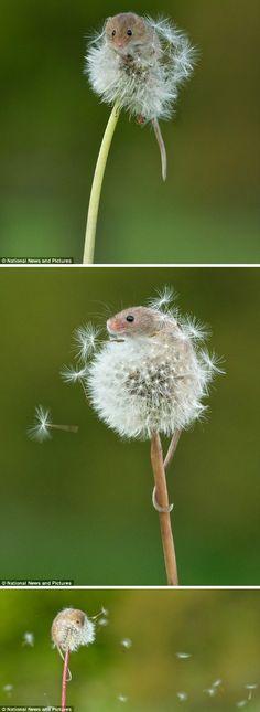 摄影师Matt BInstead拍下了这组小巢鼠(harvest mouse)爬上蒲公英玩耍的照片。说不清是风还是它吹散了蒲公英。巢鼠是欧洲最小的啮齿动物,平均身长6厘米,体重5-7克。自2001年起,它被列为濒危保护动物。