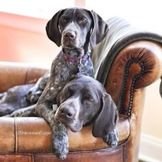 Twiglet the German Shorthaired Pointer