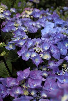 Hydrangea Zorro Blue 5L Bush 50cm (683×1024)