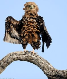 Shake, rattle and roll: This bataleur had been preening himself for 3 hours in the sun before taking off in Singita National Park, South Africa