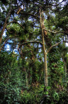 rainforest, along the road to Hana, Hawaii