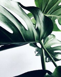 Tropical greenery plants - The Social Cue Leave In, Green Plants, Tropical Plants, Tropical Leaves, Tropical Vibes, Shade Plants, Tropical Garden, Green Leaves, Plant Leaves