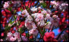 Multi-Colored Cherry Blossoms -- By David LaSpina