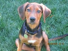 No longer available. Henrietta is an adoptable Black And Tan Coonhound Dog in Castle Rock, CO. Hi! I'm Henrietta and my foster mom thinks I'm about 14-16 weeks old. The shelter called me a hound/lab mix. I am 100% pupp...