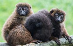 Lémurs à ventre roux (Eulemur rubriventer) by sylviebonnotte - Photo 149625935 / 500px