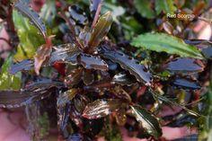 Bucephalandra Red Scorpio