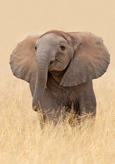 Young African elephant peers over pale gold grass. Photo Elephant, Elephant Love, Happy Elephant, Elephant Images, Elephant Gifts, Baby Elephant Pictures, Elephant Pillow, Elephant Shower, Elephant Theme
