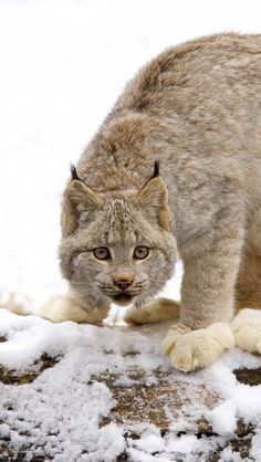 lynx_snow_hunting_young_2258_640x1136 | Flickr - Photo Sharing!