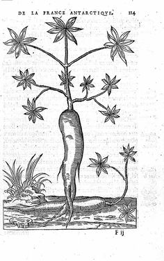 Racine de manihot (Thévet, 1558)