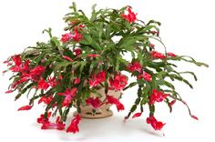 Christmas cactus: how to care for it? - The Christmas cactus, or schlumbergera in Latin, flowers from mid-December until the end of January. Christmas Cactus Care, Christmas Plants, How To Grow Cactus, Cactus House Plants, Small Indoor Plants, Cactus Planta, Bathroom Plants, Cactus Flower, Plant Care