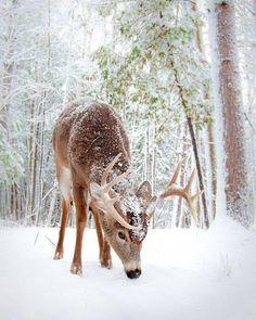 deer in winter wonderland