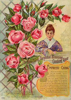 Empress of China Rose