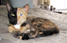 Venus - the two faced chimera cat.  The colors of Venus the cat's face is genetically split in two, one side is black fur with a green eye and the other is ginger calico with a blue eye. Venus' unique look is caused by chimerism and her eyes are different colors because of a genetic condition called heterochromia.