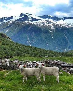Friends who hike together stay together  #SheepWithAView @sheepwithaview #norway #Stryn :@grojo83