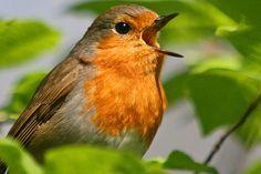 Natur & Landschaft Natur erleben Spiele, Apps & Klingeltöne Online-Vogelführer Online-Vogelführer Mit ein paar Klicks 225 heimische Vogelarten bestimmen / Auch für Smartphones
