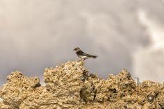 Print of a Cliff Swallow at Mono Lake