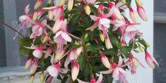 A Fukszia (Fuchsia) gondozása, teleltetése, betegségei, szaporítása Anna, Flowers, Gardening, Plant, Lawn And Garden, Royal Icing Flowers, Flower, Florals, Floral