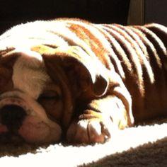 My SPANKY sleeping English bulldog puppies love their sleep!