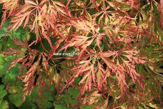 Acer palmatum 'Berrima Bridge'