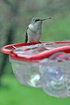 Ruby-throated Hummingbird, Make your own nectar plus Easy Conversion Chart