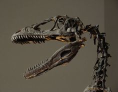 This picture shows the skull and spine of a Deinonychus skeleton, the photo was taken at the Philadelphia Academy of Natural Sciences. Deinonychus was related to the Velociraptor and lived during the early Cretaceous Period (around 110 million years ago). Dinosaur Skeleton, Dinosaur Bones, Dinosaur Fossils, Prehistoric Dinosaurs, Prehistoric Creatures, Jurassic World, Jurassic Park, Dinosaur Pictures, 3d Modelle