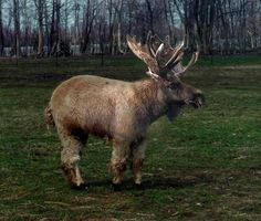 Moose Animal Hybrid Has Science Gone Too Far? Or Not Far Enough? Visit for more Hybrid Animals!