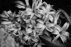 Every year I buy some potted hyacinths to get me through the Winter months.  This year's in a monochrome edit.