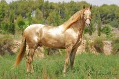 PRE stallion Sol PM II, Yeguada Paco Marti, Espana Based on the color and reflective quality of the coat, I would assume this is an Akhal Teke --
