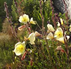 Evening primrose Apricot Delight flowers