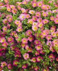 Proven Winners - Superbells® Sweet Tart™ - Calibrachoa hybrid pink plant details, information and resources. Beautiful Gardens, Beautiful Flowers, Beautiful Things, Million Bells, Pink Plant, Proven Winners, How To Attract Hummingbirds, Sweet Tarts, Tiny Flowers