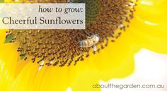 How to grow: Cheerful Sunflower in Australia  #plant #garden #aboutthegarden When To Plant Sunflowers, Growing Sunflowers, Home Garden Design, Home And Garden, Summer Garden, Veggie Gardens, Evie, Cheer, Garden Ideas