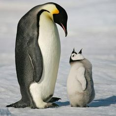 Happy Fathers Day. There are few examples in nature of a father more dedicated than the emperor penguin. After the female lays the egg, her nutritional reserves become depleted and she must return to feed in the ocean for two months. This leaves the responsibility of keeping the egg warm through the freezing Antarctic winter to the father.