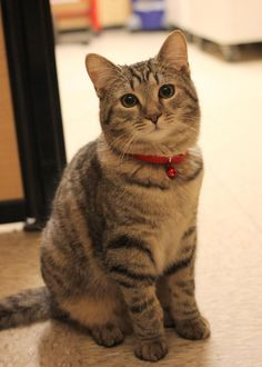 Meet Zuma, an adoptable Domestic Short Hair looking for a forever home. If you're looking for a new pet to adopt or want information on how to get involved with adoptable pets, Petfinder.com is a great resource.