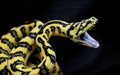 Jungle Carpet Python Striking